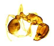 Hormiga bajo el microscopio Imágenes de archivo libres de regalías