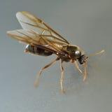 Hormiga blanca de la termita Imagen de archivo libre de regalías