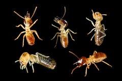 Hormiga blanca de la termita aislada Foto de archivo libre de regalías