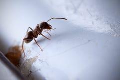 Hormiga común Imagen de archivo