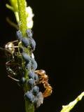 Hormiga con los áfidos Fotografía de archivo libre de regalías