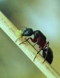 Hormiga con los huevos Imagen de archivo