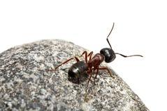 Hormiga curiosa Fotografía de archivo libre de regalías