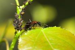 Hormiga de Bull que vigila un grupo de áfidos Imagenes de archivo
