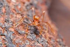 Hormiga de fuego rojo Imagen de archivo libre de regalías