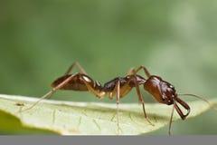 hormiga de la Atrapar-quijada en la hoja verde Imágenes de archivo libres de regalías