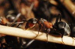 Hormiga de la colina (rufa del Formica) fotografía de archivo libre de regalías