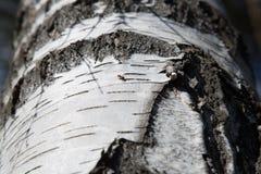Hormiga de la textura del árbol de abedul Imagen de archivo libre de regalías