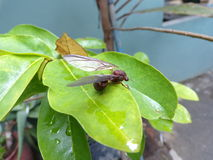Hormiga de Leafcutter imágenes de archivo libres de regalías