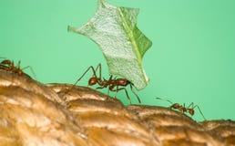 Hormiga de Leafcutter con la hoja Foto de archivo