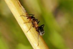 Hormiga de madera. Fotos de archivo
