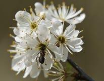 Hormiga de madera en la flor del endrino Imagenes de archivo