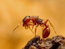 Hormiga de Myrmica   Imagen de archivo