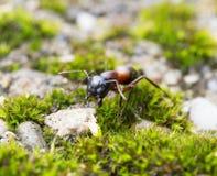 Hormiga del bosque Foto de archivo libre de regalías