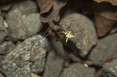 Hormiga del cortador de la hoja Imagen de archivo