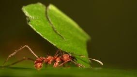 Hormiga del cortador de la hoja Imagen de archivo libre de regalías