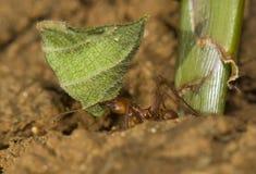 Hormiga del cortador de la hoja con la hoja Foto de archivo libre de regalías