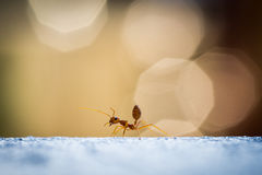 Hormiga del rojo del poder Foto de archivo