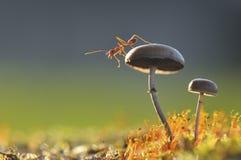 Hormiga del tejedor en una seta Fotos de archivo libres de regalías