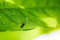 Hormiga e insecto en una hoja verde Imágenes de archivo libres de regalías
