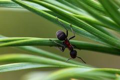 Hormiga en agujas del árbol de pino Fotos de archivo libres de regalías