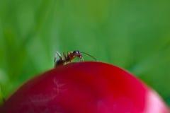 Hormiga en el brote Fotos de archivo