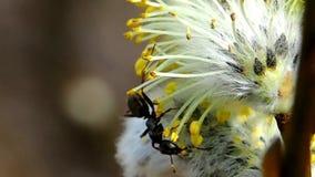 Hormiga en el sauce de florecimiento almacen de video