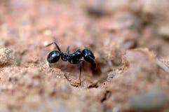 Hormiga en el trabajo Fotos de archivo libres de regalías