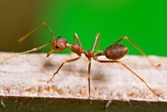 Hormiga en el verde fotografía de archivo libre de regalías