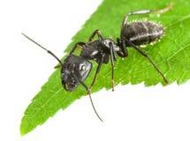 Hormiga en extremidad de la hoja Imagenes de archivo