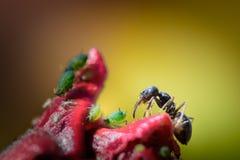 Hormiga en hibisco rojo de la flor con los áfidos verdes imagen de archivo libre de regalías