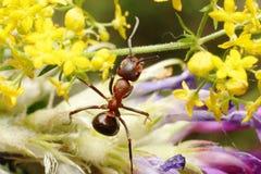 Hormiga en hierba Fotografía de archivo libre de regalías