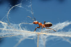 Hormiga en hierba Imagen de archivo libre de regalías