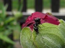 Hormiga en la flor Foto de archivo libre de regalías
