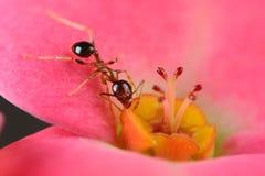 Hormiga en la flor Fotos de archivo