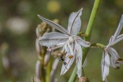 Hormiga en la flor Fotografía de archivo
