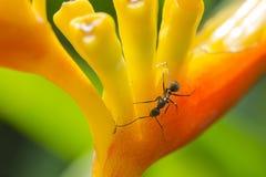 Hormiga en la flor amarilla Foto de archivo