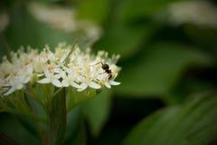 Hormiga en la floración blanca fotos de archivo