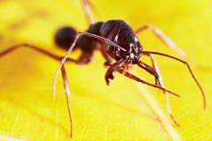 Hormiga en la hoja Imagen de archivo libre de regalías