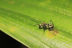 Hormiga en la hoja foto de archivo