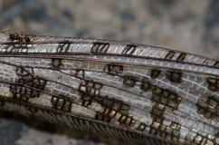 Hormiga en las alas de un gregaria de Schistocerca de la langosta del desierto muerto imágenes de archivo libres de regalías