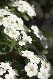 Hormiga en un campo de flores blancas minúsculas Fotos de archivo