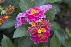 Hormiga en una flor púrpura Fotografía de archivo libre de regalías