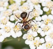 Hormiga en una flor Primer Foto de archivo libre de regalías