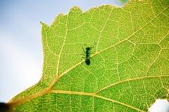 Hormiga en una hoja verde Fotografía de archivo