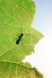 Hormiga en una hoja verde Imagenes de archivo
