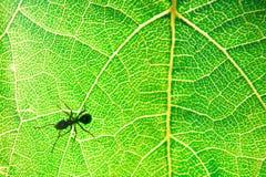 Hormiga en una hoja verde fotos de archivo libres de regalías