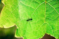 Hormiga en una hoja verde fotografía de archivo libre de regalías