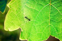 Hormiga en una hoja verde imágenes de archivo libres de regalías