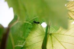 Hormiga en una hoja verde Foto de archivo